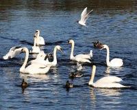 Svanar och änder som matar på sjön royaltyfria bilder