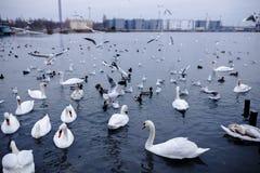 Svanar och änder som svävar på Blacket Sea, Odessa royaltyfri bild