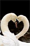 Svanar och förälskelse royaltyfri foto
