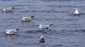 Svanar och fiskmåsar i Blacket Sea Laruscanus, Cygnusolor arkivfilmer