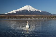 Svanar och Mount Fuji i sj?n Yamanaka, Japan arkivfoto