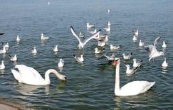 Svanar och seagulls arkivbild