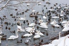 Svanar och Seagulls i den Vltava floden i Prague i vinter arkivfoto