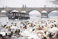 Svanar och Seagulls i den Vltava floden i Prague i vinter, fartyg i bakgrund arkivfoto