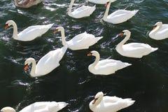 Svanar och seagulls i havet royaltyfri foto