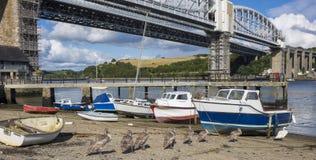 Svanar och signet Saltash Cornwall England UK Fotografering för Bildbyråer