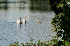 Svanar och unga svanar i en sjö fotografering för bildbyråer