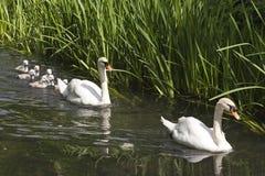 Svanar och unga svanar i Crayford royaltyfria foton