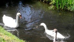 Svanar och unga svanar på floden stock video