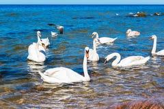 Svanar på Östersjön nästan Pionerskiy royaltyfria foton