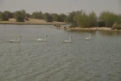 Svanar på Al Qudra Lakes, Dubai Arkivfoto