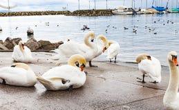 Svanar på asfalten vid sjön royaltyfria bilder