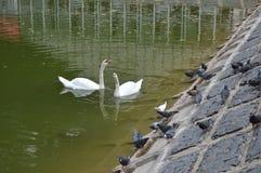 Svanar på dammet royaltyfria foton