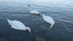 Svanar på Danubet River fotografering för bildbyråer