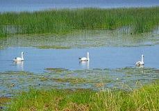 Svanar på Daugavafloden royaltyfria foton
