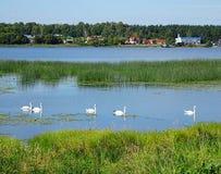 Svanar på Daugavafloden arkivbild