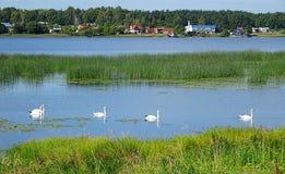 Svanar på Daugavafloden arkivfoton