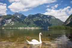 Svanar på den alpina sjön Arkivbilder