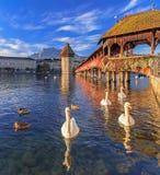 Svanar på den Reuss floden på kapellbron royaltyfri fotografi