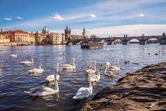 Svanar på den Vltava floden royaltyfri bild