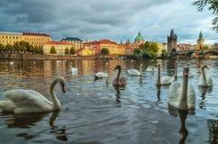 Svanar på den Vltava floden i Prague, Tjeckien Charles överbryggar Fotografering för Bildbyråer