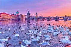 Svanar på den Vltava floden, Prague arkivfoton