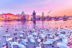 Svanar på den Vltava floden, torn och Charles Bridge på solnedgången, Prague, Tjeckien arkivbilder