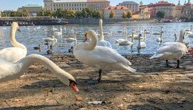 Svanar på den Vltava Moldau floden i Prague arkivbild