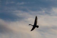Svanar på en bakgrund av himlen Royaltyfri Fotografi