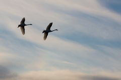 Svanar på en bakgrund av himlen Royaltyfria Foton