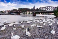 Svanar på en bank av den Vltava floden arkivfoton