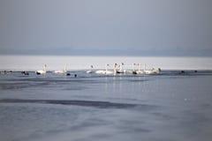Svanar på en delvist fryst sjö i vinter Royaltyfria Foton