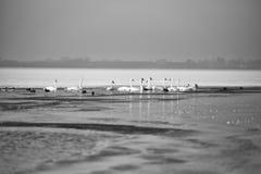Svanar på en delvist fryst sjö i vinter Arkivfoton