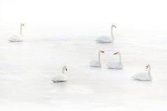 Svanar på en djupfryst sjö i vinter Fotografering för Bildbyråer
