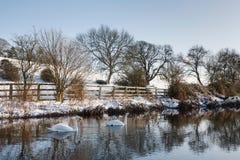 Svanar på en flod i vinter fotografering för bildbyråer