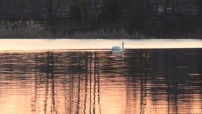Svanar på en röd solnedgång på en sjö i vår lager videofilmer
