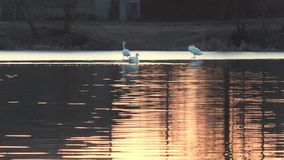 Svanar på en röd solnedgång på en sjö i vår arkivfilmer