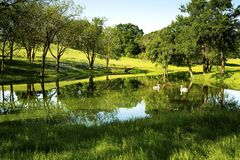 Svanar på en Texas Pond arkivbild