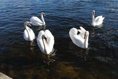 Svanar på floden royaltyfria bilder