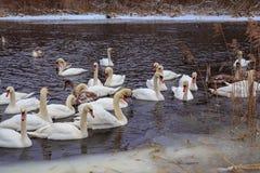 Svanar på floden i vinter royaltyfri foto
