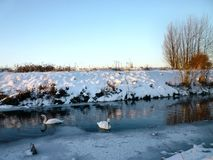 Svanar på floden i vinter royaltyfri fotografi