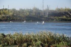 Svanar på floden Ural Royaltyfria Bilder
