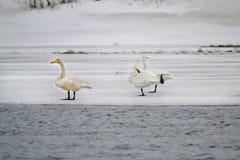 Svanar på isen Royaltyfri Bild