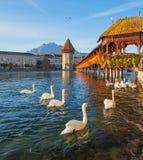 Svanar på kapellbron i Lucerne, Schweiz arkivfoto