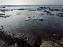 Svanar på kusten arkivbild