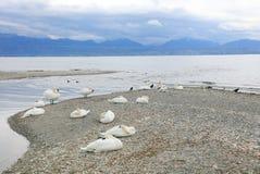 Svanar på Leman Lake - Genève sjö Arkivfoton