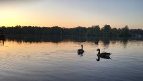 Svanar på sjön royaltyfri bild