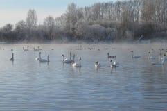 Svanar på sjön Arkivbild