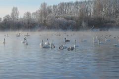 Svanar på sjön Royaltyfria Foton