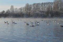 Svanar på sjön Fotografering för Bildbyråer